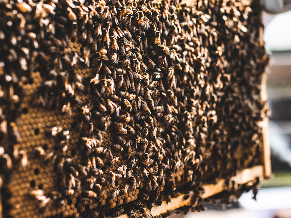 Bees gathered on honeycombs.